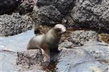 Neugieriger Seelöwen-Teeny