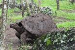 Schildkröte nach Schlammbad