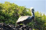 Pelikan mit stechendem Blick