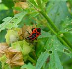 Feuerwanze (Pyrrhocoris apterus) an Malvenfrucht