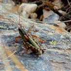 Alpine Gebirgsschrecke (Miramella alpina)