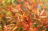 Wildrosen im Herbst