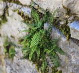 Brauner Streifenfarn (Asplenium trichomanes)