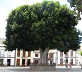 Baum, den Platz beherrschend