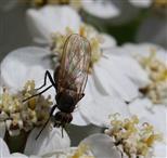 Kleine Fliege auf Schafgarbe