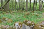 Eichen - Hainbuchen - Erlen - Mischwald mit Anemonen