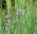 Schwanenblume (Butomus umbellatus L.)