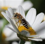 Gemeine Seidenbiene (Colletes daviesianus)