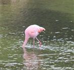Flamingo bei der Mahlzeit