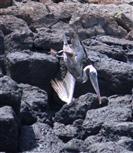 Stoßtauchender Pelikan I