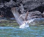 Stoßtauchender Pelikan II