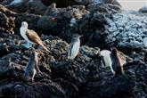 Pinguine am Äquator