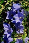 Glocken, blau