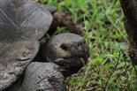 Galapagos Riesenschildkröte schenkt uns kurz ihre Aufmerksamkeit