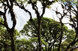 Scalesia-Wald