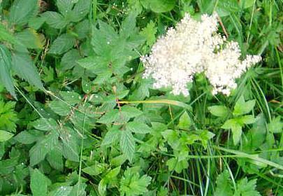 Echtes Mädesüß(Filipendula ulmaria(Mill.))