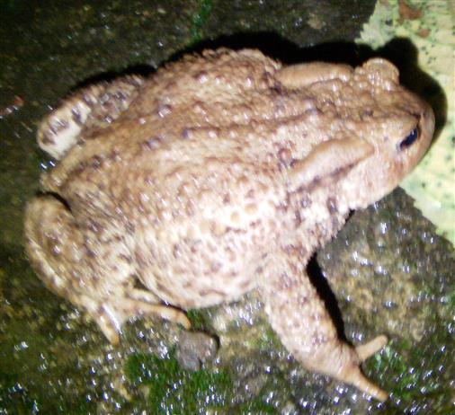 Eine nächtliche Besucherin auf der Gartenmauer - Erdkröte(Bufo bufo(L.)) Weibchen