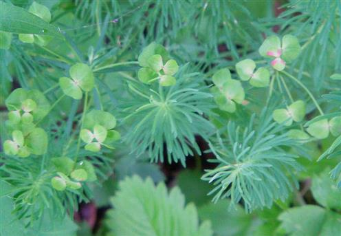 Zypressen-Wolfsmilch(Euphorbia cyparissias(L.))
