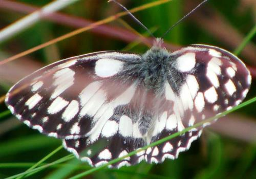 Schachbrett(Melanargia galathea(L. 1758))