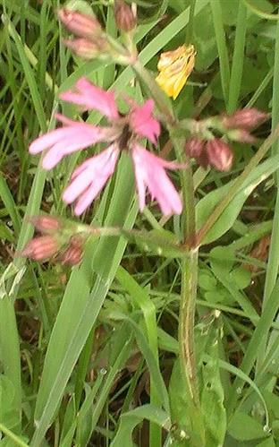 Kuckucks-Lichtnelke(Lychnis flos-cuculi(L.))