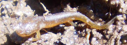 Junger Teichmolch(Lissotriton vulgaris(L. 1758))