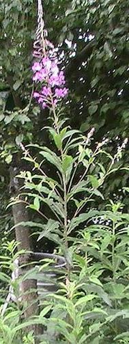 Schmalblättriges Weidenröschen(Epilobium angustifolium(L.) Holub)