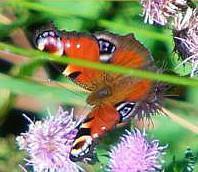 Tagpfauenauge(Aglais io(L. 1758))