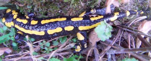 Feuersalamander(Salamandra salamandra(L. 1758))