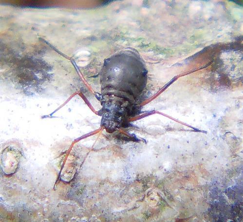 Baum-, Rindenlaus(Lachnidae)
