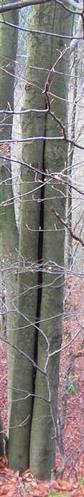 Gemeinschaft stärkt(Rotbuche(Fagus sylvatica(L.))