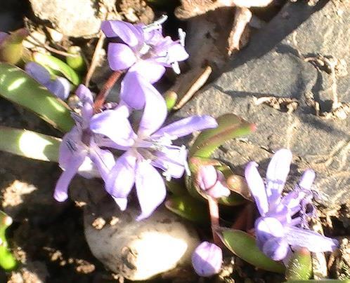 Zweiblättrige Blausterne(Scilla bifolia(L.))