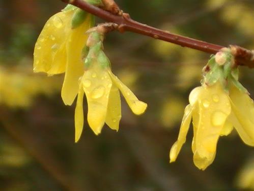 Zweigchen einer Forsythie(Forsythia x intermedia)