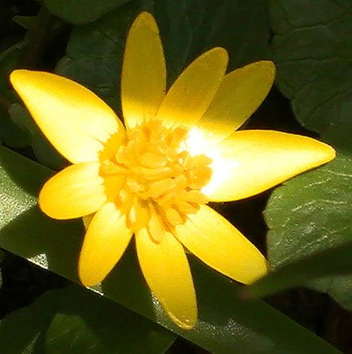 Blüte des Scharbockskrauts(Ficaria verna(Huds.))