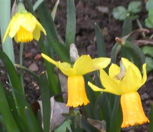 Blüten der Osterglocke(Narcissus pseudonarcissus(L.))