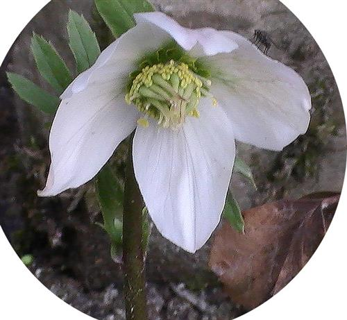 Blüte einer Schneerose(Helleborus niger(L.))