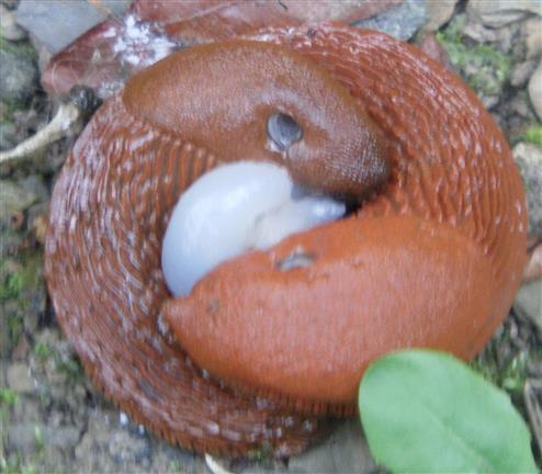 Spanische Wegschnecken(Arion vulgaris(Moquin-Tandon 1855))