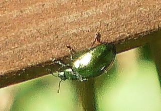 Minzeblattkäfer(Chrysolina herbacea)