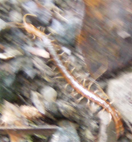 Gemeiner Steinläufer(Lithobius forficatus(L. 1758))