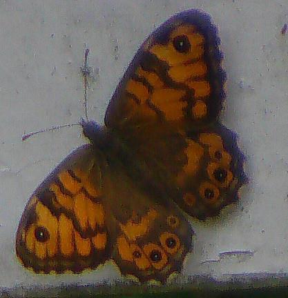 Mauerfuchs(Lasiommata megera(L. 1767))
