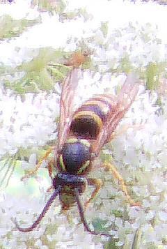 Gemeine Wespe(Vespula vulgaris 1758))