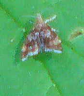 Spreizflügelfalter(Choreutidae)