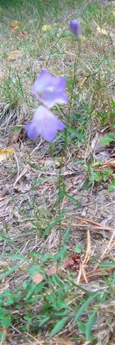 Wiesen-Glockenblume(Campanula patula(L.))