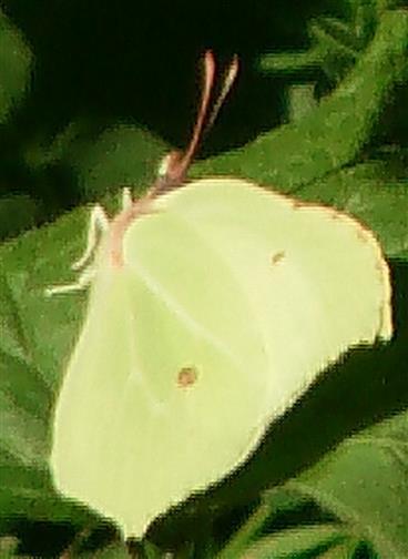 Zitronenfalter(Gonepteryx rhamni(L. 1758))