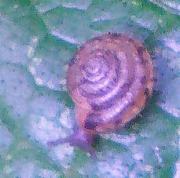 Gemeine Haarschnecke(Trochulus hipidus(L. 1758))