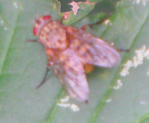 Fliege (Phaonia subventa)