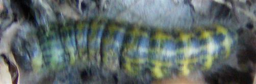 Raupe des Mondvogels(Phalera bucephala(L. 1758))