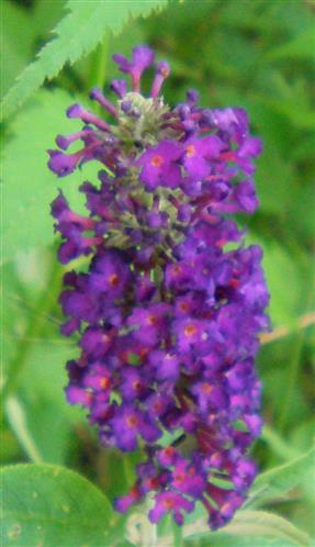 Blüte des Sommerflieders(Buddleja davidii(Franch.))