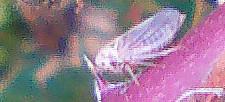 Zikade (Idiocerus populi(L.))