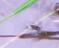 Junger, gemeiner Wasserläufer(Gerris lacustris(L. 1758))