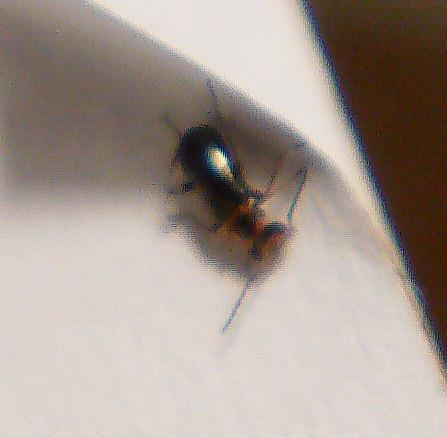 Troglops albicans(Malachidae)01 - ein